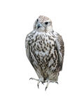 The falcon a bird. It is isolated stock image