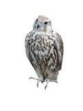 The falcon a bird Stock Image