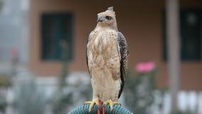 Falcon bird stock video