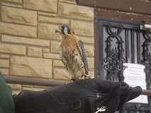 Falcon. At a bird rescue Royalty Free Stock Photography