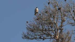 Falcon bird in tree, California, United States stock footage