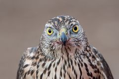 Portrait of Falcon with a bloody beak. Bird of prey. Falcon with a bloody beak after a meal. Bird of prey royalty free stock image