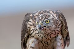 Falcon with a bloody beak after a meal. Bird of prey. Portrait of Falcon with a bloody beak. Bird of prey.Selective focus stock photo