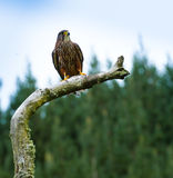 Falcon on branch Stock Image