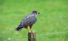 Falcon on branch Royalty Free Stock Photography