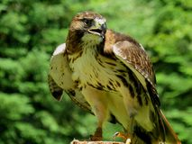 Falcon on a branch. Ready to take off stock photos