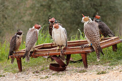 Falcon breeding falcons Royalty Free Stock Images