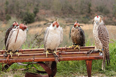 Falcon breeding falcons Royalty Free Stock Photography