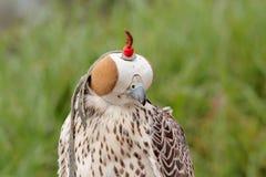 Falcon breeding falcons. For falconry predator bird predation Stock Photo