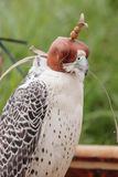 Falcon breeding falcons Stock Images