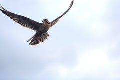 Falcon breeding falcons. For falconry predator bird predation Royalty Free Stock Image