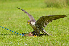 A falcon in captivity. Is training to hunt Stock Photo