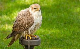 A falcon in captivity Stock Images