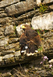 Falcon in castle wall. Royalty Free Stock Photography