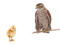 Falcon and chicken. Isolated on a white background stock image