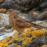 Falcon Chimango Caracara in Tierra del Fuego National Park, Arge. Ntina, Patagonia Royalty Free Stock Photo