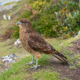 Falcon Chimango Caracara in Tierra del Fuego National Park, Arge. Ntina, Patagonia Stock Photography