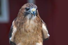 Falcon in the City Stock Photos