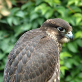 Falcon close-up. Closeup photograph, with good eye detail, of a hunting falcon in Italy stock image
