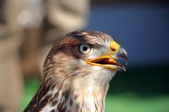 Falcon close up stock images
