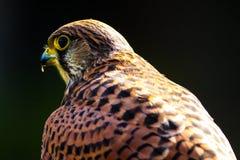 Falcon. A close up of a falcon at a show Stock Image