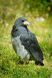 Falcon close up standing in the grass Royalty Free Stock Photo
