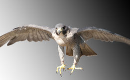 Falcon coming in fast, intent on prey. Peregrine Falcon coming in at speed to be sure of its prey royalty free stock photo
