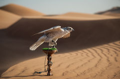 Falcon in desert. Portrait of a falcon or bird of prey in desert Royalty Free Stock Photos