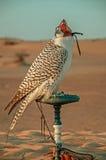 Falcon in the desert Stock Photo