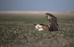 Falcon Duck Attack Desert Nature Wild Life Animal Instinct royalty free stock photo