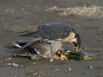 Falcon eating a duck Stock Photography