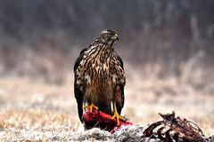Falcon eating meat. The falcon consumes its prey Royalty Free Stock Photos