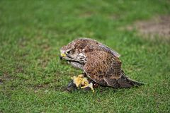 Falcon eating prey Royalty Free Stock Images