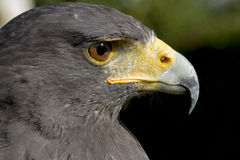 Faucon en gros plan. Falcon eye oeil du faucon royalty free stock images