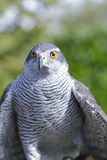 Falcon. Eye oeil du faucon royalty free stock photos