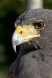 Falcon. Eye oeil du faucon stock photography
