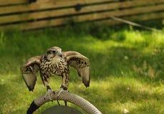 Falcon,falco cherrug . Stock Photos