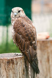 Falcon ( Falco cherrug) sitting on a tree. Baby bird of a falcon ( Falco cherrug) sitting on a tree. Looks in a lens royalty free stock images
