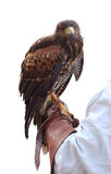 Falcon on Falconer Hand Royalty Free Stock Image