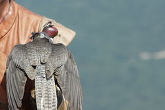 Falcon with a falconer. Falcon placed on the hand of a falconer royalty free stock photo
