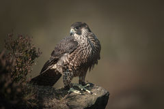 Falcon. A falconers young captive bred Peregrine - Saker hybrid hunting bird of prey, perched on a rock Royalty Free Stock Image