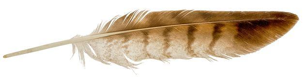 Falcon Feather Isolated On White Royalty Free Stock Images