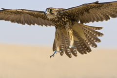 Falcon In Flight. A falcon coming for the kill, shot in a middle eastern desert location royalty free stock photos