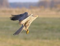 The falcon in flight. Royalty Free Stock Image