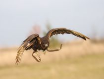 The falcon in flight. Stock Images