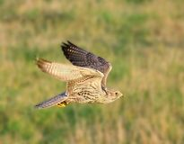 The falcon in the flight Stock Photography