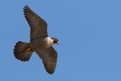 Falcon in flight. Peregrine Falcon flies by overhead on a clear blue sky Stock Image