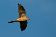 Falcon in flight Stock Images