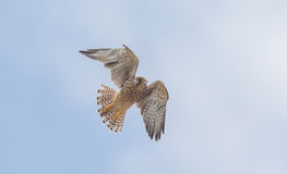 Falcon flying royalty free stock photos