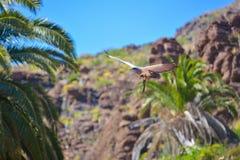Falcon in free flight at Palmitos Park Maspalomas, Gran Canaria, Spain Royalty Free Stock Photo